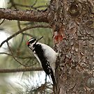 Woodpecker by KatsEyePhoto