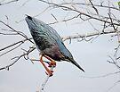 Green Heron by D R Moore