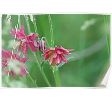 Double Flowered Aquilegia Poster