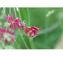 Double Flowered Aquilegia Photographic Print
