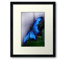 Blue Morpho - Morpho peleides (dorsal) - Wings Open Framed Print