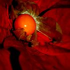 Physalis and Poinsettia by Karen Martin IPA