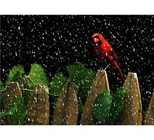 Male Cardinal Stare (snow effect) Photographic Print