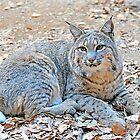 Hello Mr Bobcat  by Judy Grant