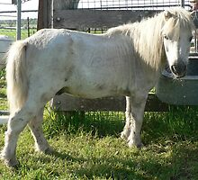 Danny - 40yr Mini Pony by louisegreen