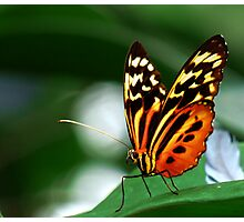 Tiger Longwing Butterfly  Photographic Print