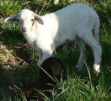Twin Lambs by louisegreen