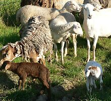 Coloured Sheep by louisegreen