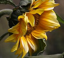 sunflower by Iris MacKenzie