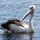 Graceful Pelican by Kelly Robinson