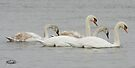 The Swan Family by Todd Weeks