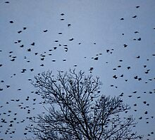 A Million Starlings!! by barnsis