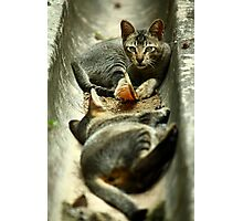 Cats in a Drain Photographic Print