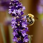 Bee on Lavender by AnnDixon