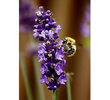 Bee on Lavender Photographic Print