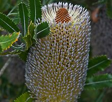 Old Man Banksia by garts