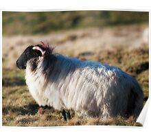 Sheep, near Clifden, Ireland Poster