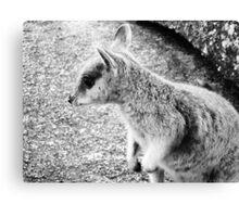 Mareeba Rock Wallaby Canvas Print