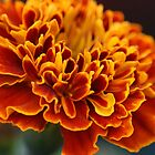 Red N Orange Marigold by crystalseye