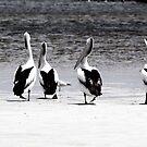Pelicans in Bremer by Lemonade Butterfly