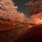 Sakura - Cherry Blossoms by lapart