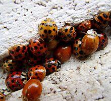 Ladybug-a-palooza by Jason Samfield