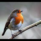 rocky robin 2 by brett watson