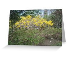 A beautiful forsythia bursting forth in its yellow splendor at Easter 2010  Greeting Card