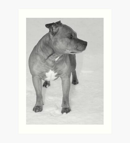 Staffie in the snow Art Print
