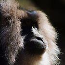 Macaca Silenus by Alison M