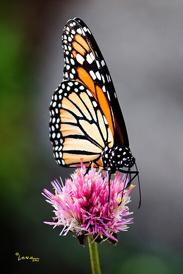 Butterfly on Pink by George Lenz