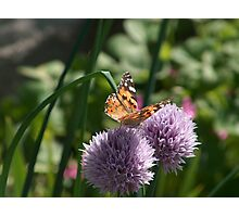 Butterfly on Chive Photographic Print