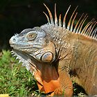 iguana from Costa Rica by Margaret  Shark