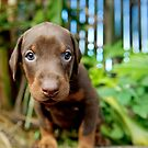 Dobie puppy by ruthlessphotos
