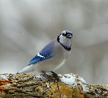 Blue Jay in the snow... by Gregg Williams