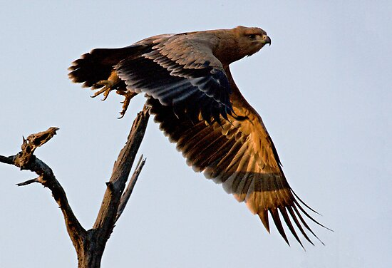 Tawny Eagle In Flight by Michael  Moss