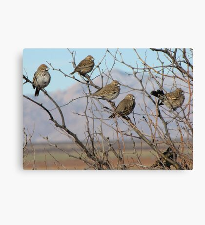 Lark Buntings ~ Non-breeding Adult males (Bachelor Club) Canvas Print