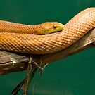Corn Snake at Rest by John Butler