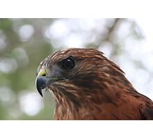 Eye to Eye with a Red-shouldered Hawk Photographic Print