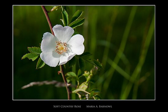 Soft Country Rose - - Posters & More by Maria A. Barnowl
