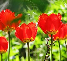FRINGED TULIPS-SPRING 2008 by gelillc