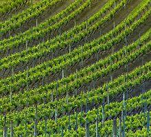 Vineyard 6 by Werner Padarin