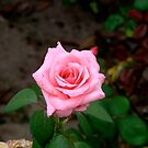 A Rose By Any Other Name.... by fairielights
