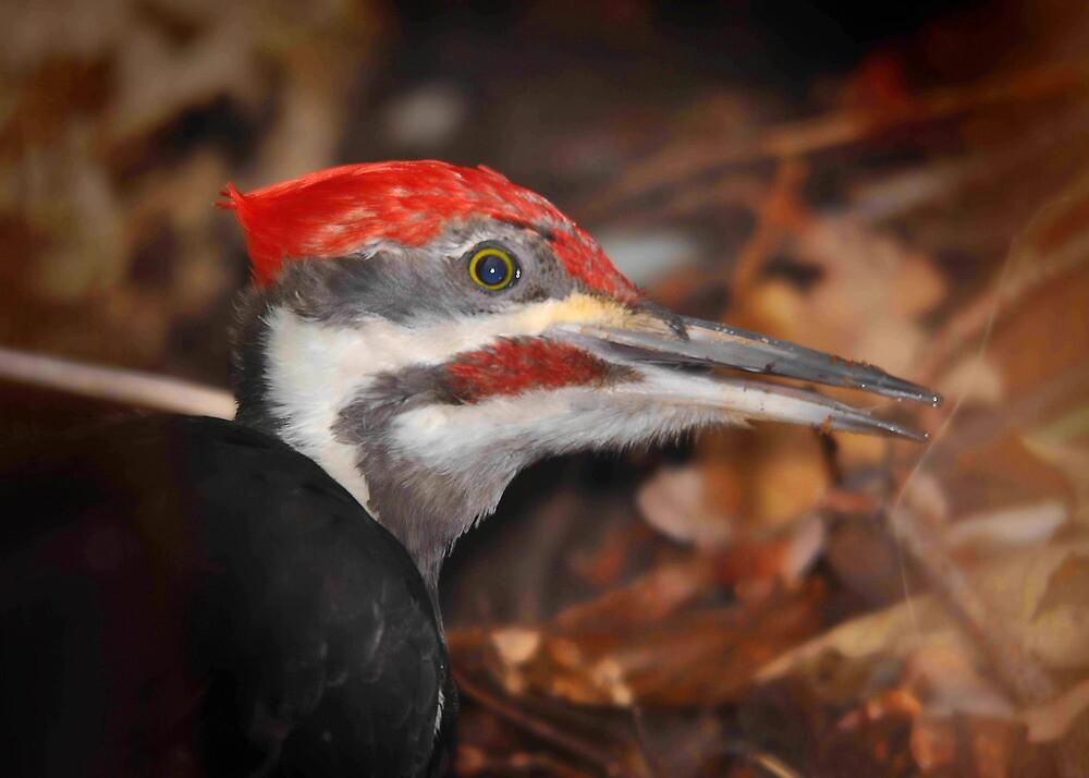 Pileated Woodpecker by Carl Olsen
