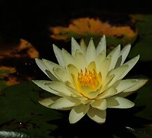 water lilly by msknit