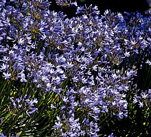 Agapanthus - - Cards & iPad Cases by Maria A. Barnowl