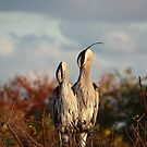 Great Blue Heron by D R Moore