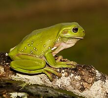 Green Tree Frog by Ken Griffiths