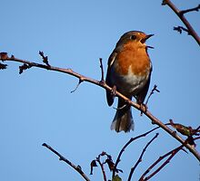 The Singing Robin by DEB VINCENT