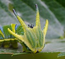 Tailed Emperor Caterpillar by Gabrielle  Lees